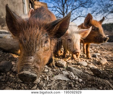 Three pigs in the barnyard Spring in South Ossetia