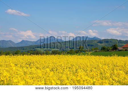 Rapeseed meadow under blue sky in summer