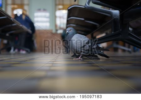 A Pigeon At A Train Station In Saint Petersburg.