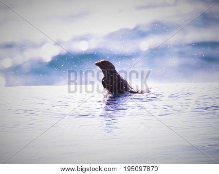 Bird washing in a Swimming Pool, St Kitts