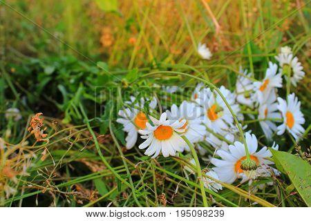 Chamomile flowers. Daisies in the garden. Bouquet of daisies. Chamomile in the meadow. Wallpaper for desktop