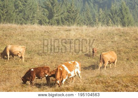 Cow Herd Grazing On A Hilly Pasture, Autumn Time