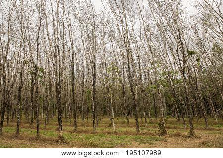 Rubber tree hevea brasiliensis plant produce latex in shady plantation