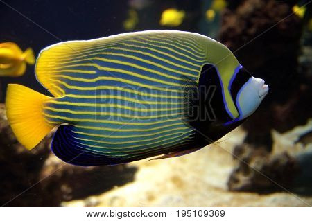 Emperor angelfish (Pomacanthus imperator) against a coral reef