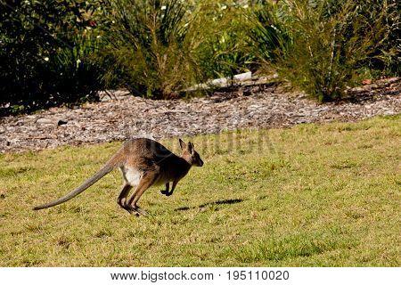 Australian Wallaby Hopping In Grassy Field