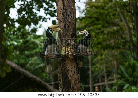 Close Up Portrait Of Two Oriental Pied Hornbill Anthracoceros Albirostris With Banana In Nature