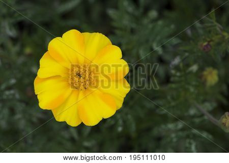Single Yellow And Orange Marigold Flower