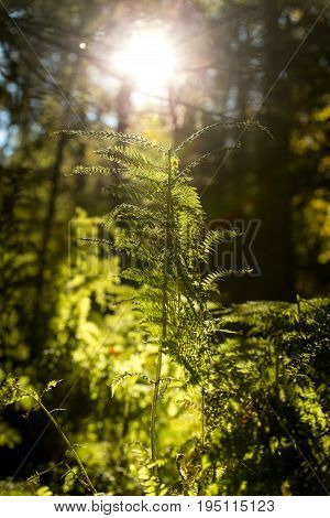 Trees And Fern With Sunshine In A Area Of The Black Forest