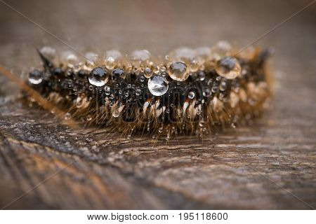 A beautiful macro photo of a brown caterpillar with a rain drops in its hair on a wooden footpath