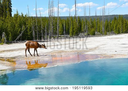 A female (cow) elk drinking water at a hot spring in Yellowstone National Park.