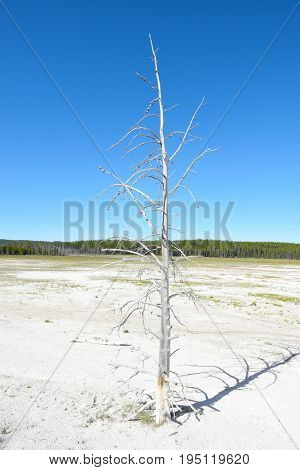 A single dead white tree against a stark cloudless blue sky, in the Fountain Paint Pot area of Yellowstone National Park.