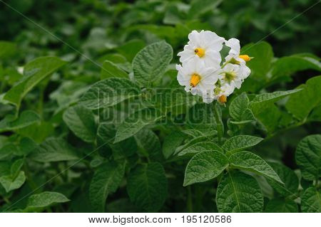Solanum tuberosum - potatoes flowers on organic potato farm field