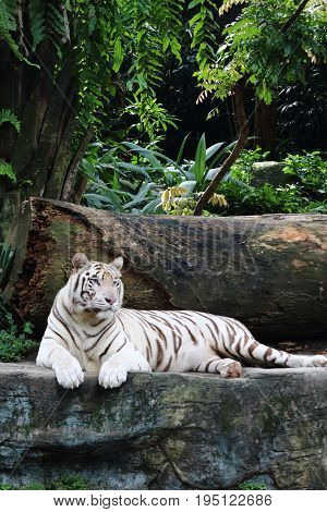 A white tiger resting on a rock while staring into the far