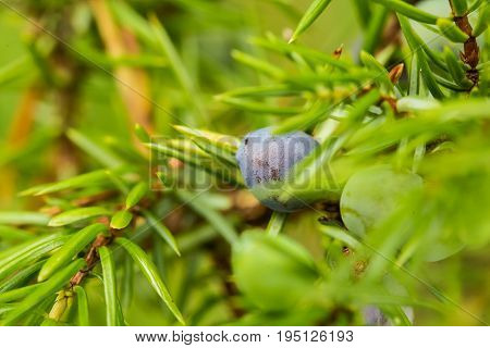 Beautiful closeup of a juniper branch on a natural background after the rain. Shallow depth of field closeup macro photo.