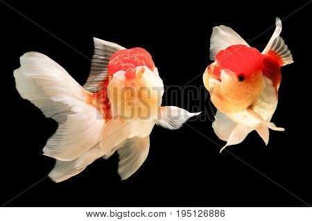 Two goldfish are together in a beautiful black backdrop