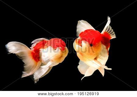 Goldfish in motion blur on a black background