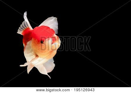 One goldfish are together in a beautiful black backdrop