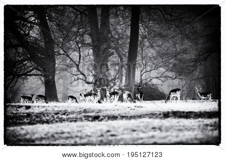 Vintage Black And White Photo Of Large Group Of Fallow Deer Doe In Misty Forest Meadow.