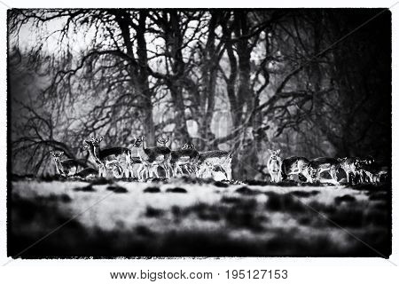 Old Black And White Photo Of Fallow Deer Doe Standing Together In Meadow.