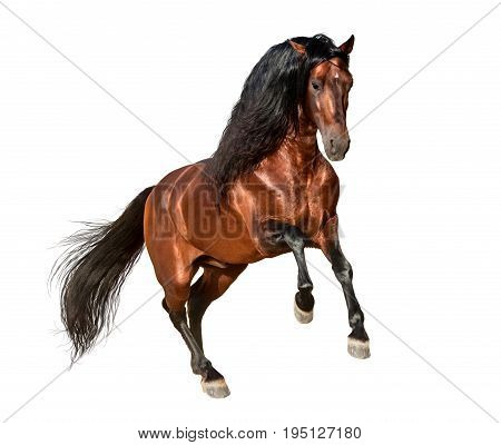 bay andalusian horse galloping isolated on white background