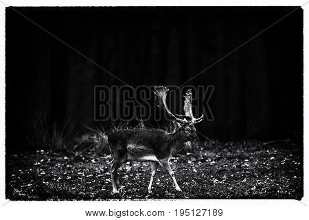 Vintage Black And White Photo Of Fallow Deer Buck Walking Over Meadow In Forest.