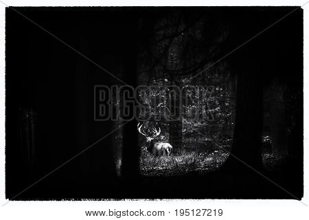 Old Black And White Photo Of Red Deer Stag In Field Of Dark Forest.