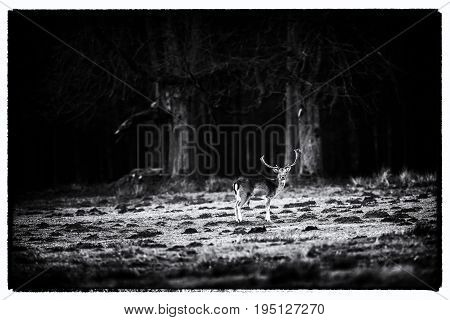 Old Black And White Photo Of Fallow Deer Buck In Forest Meadow.