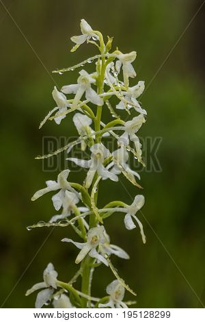 A beautiful rare lesser butterfly orchid blossoming in the summer marsh. Closeup macro photo shallow depth of field.