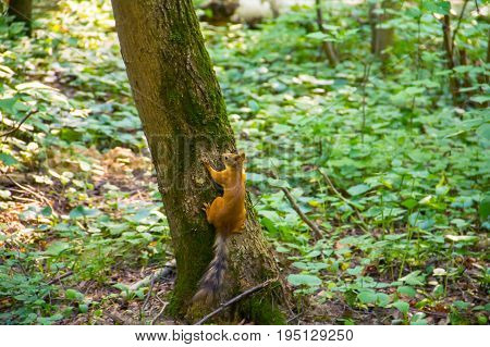 Young wary young orange squirrel with a striped tail sitting on tree