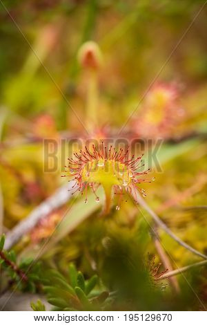 A beautiful round leaved sundew in a marsh after the rain. Shallow depth of field closeup macro photo.