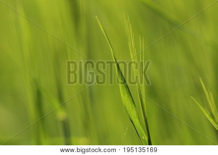 Barley/ Barley is a member of the grass family, is a major cereal grain grown in temperate climates globally.