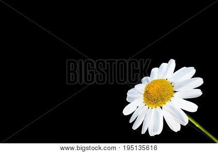 Beautiful daisy flower isolated in bottom right corner against black with copy space