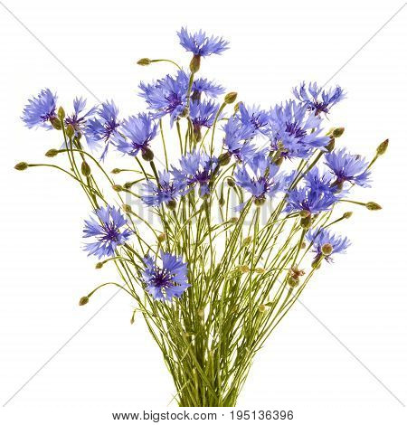 Bouquet of field cornflowers close up.Cornflowers on a white background.