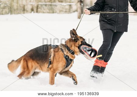 German Shepherd Dog Walking Near Owner During Training. Winter Season. Training Of Purebred Adult Alsatian Wolf Dog. Dog Holding Training Sleeve In Jaws