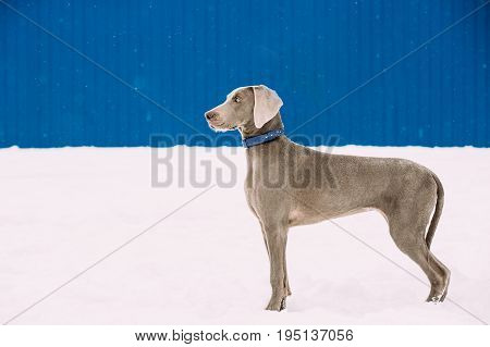 Beautiful Weimaraner Dog Standing In Snow At Winter Day. Large Dog Breds For Hunting. Weimaraner Is An All-purpose Gun Dog.