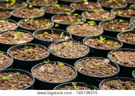 Small Green Sprouts Of Tree Plant With Leaf, Leaves Growing From Soil In Pots In Greenhouse Or Hothouse. Spring, Concept Of New Life.
