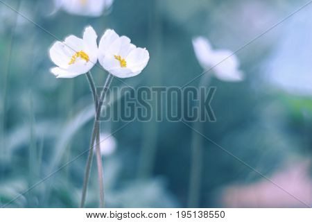 Two white flowers gently infused in the arms. Artistic way flower anemones.Soft selective focus