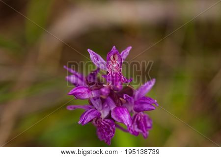 A beautiful rare pink wild orchid blossoming in the summer marsh. Closup macro photo shallow depth of field.
