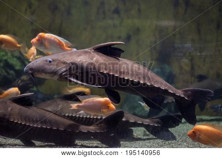 Ripsaw catfish (Oxydoras niger), also known as the plated catfish or cuiu cuiu.