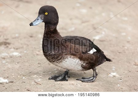 Tufted duck (Aythya fuligula). Wild life animal.