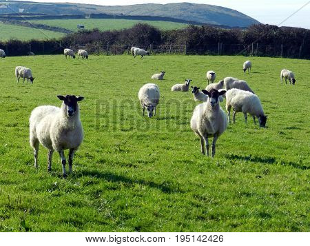 Sheep on the coastal cliff pastures of Boscastle, Cornwall
