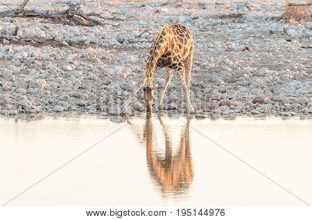 A Namibian giraffe giraffa camelopardalis angolensis drinking water at sunset at a waterhole in Northern Namibia