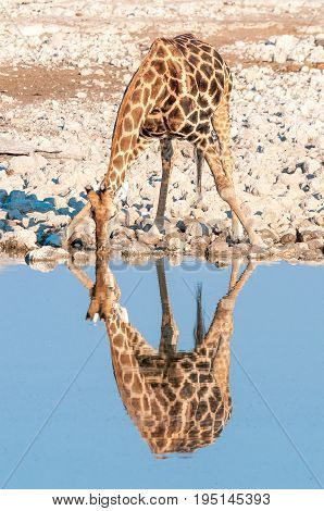 A Namibian giraffe giraffa camelopardalis angolensis with reflection drinking water