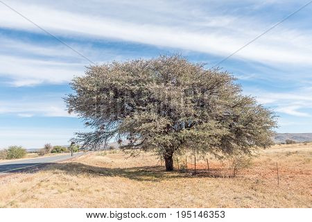 A large camelthorn tree also called a mokala tree Acacia erioloba next to the N8 road between Griekwastad and Groblershoop in the Northern Cape Province. It is covered with seed pods used as animal fodder