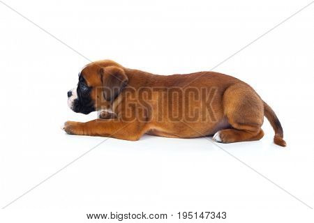 Adorable puppy lying on the floor isolated on white background