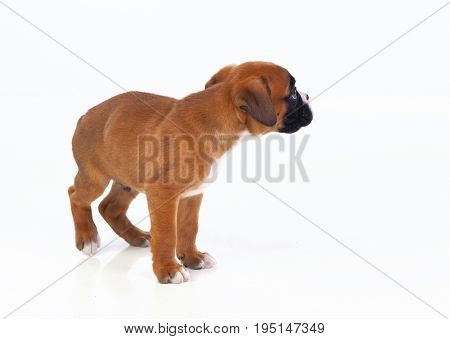 Adorable boxer puppy looking at the side on a isolated white background