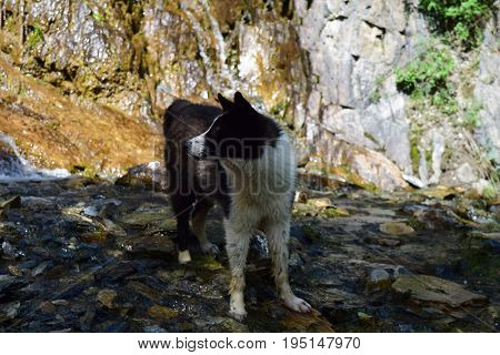 White and black colored mongrel dog standing in cold river on stones background. Summer heat.