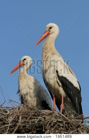 Couple of white storks in the nest nice birds family photo great to use for ornithology purposes poster