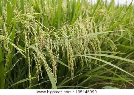 Ripe rice on the rice field. Vintage rice in the rice field.Selective focus.