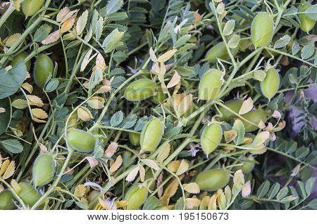 Green fresh chickpeas grains, natural organic green chickpeas pictures, green chickpea pictures on the field,